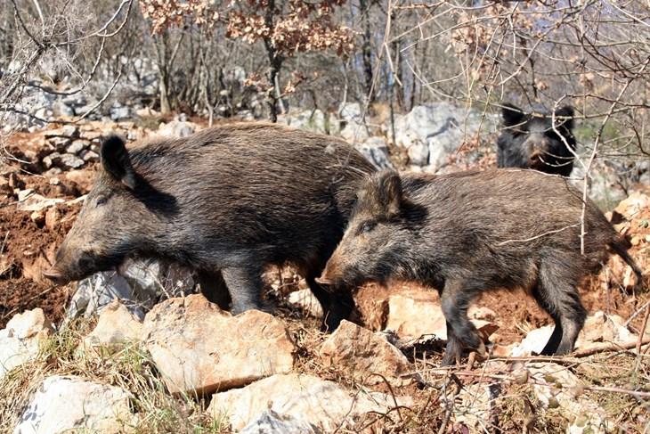 AFRIČKA SVINJSKA KUGA U SUSJEDSTVU U Istri su mjere opreza na maksimumu, broj divljih svinja sveden je na BIOLOŠKI MINIMUM